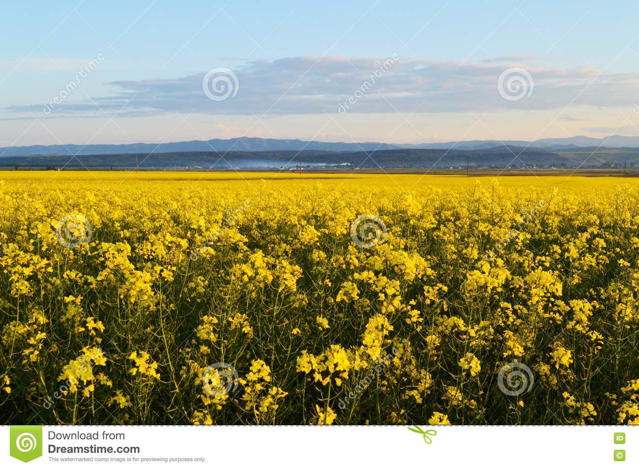 canola fields in romania stock photo image of region 71379440