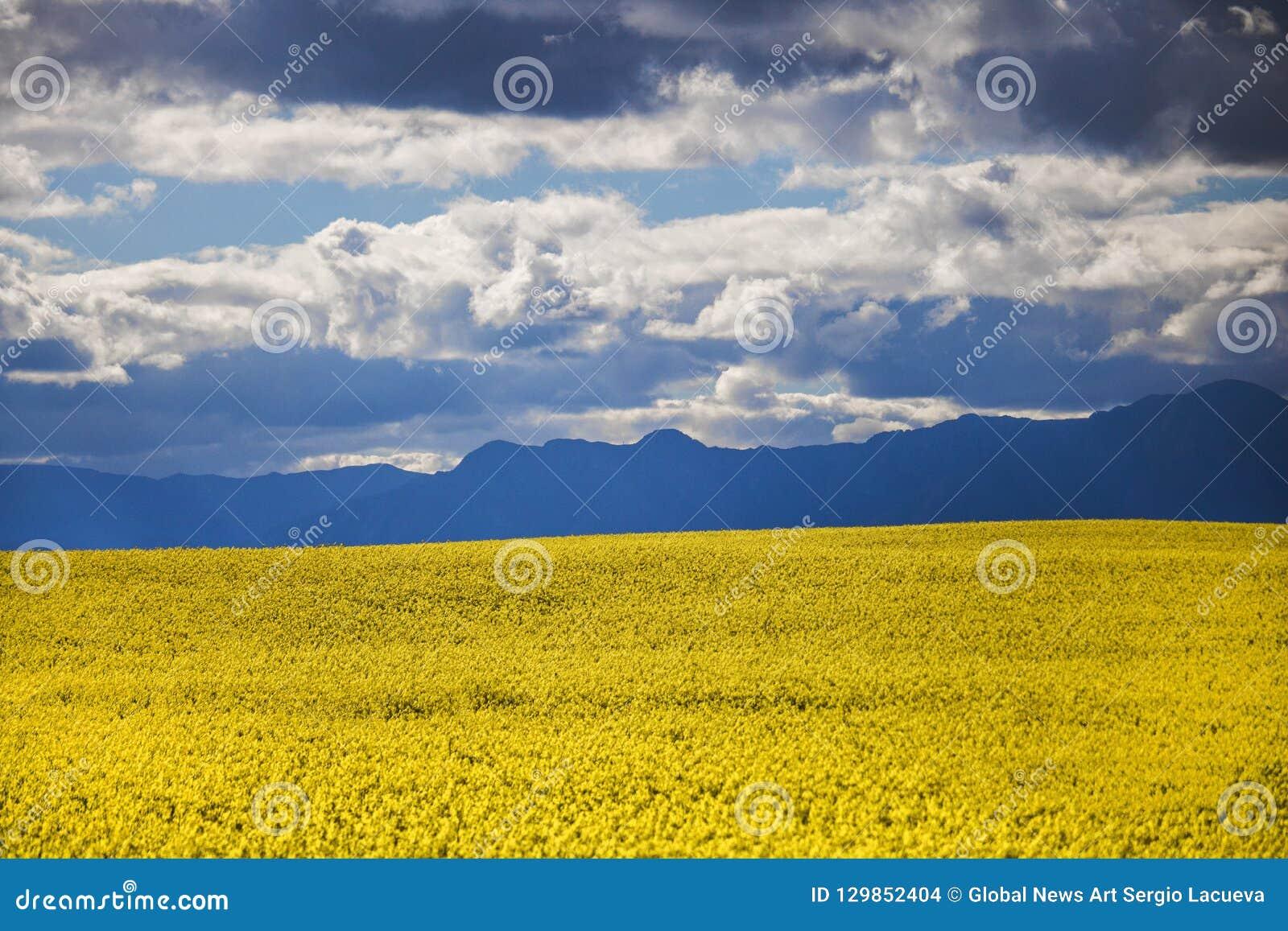 Canola kwiatu pole na gospodarstwie rolnym w Caledon, Zachodni przylądek, Południowa Afryka