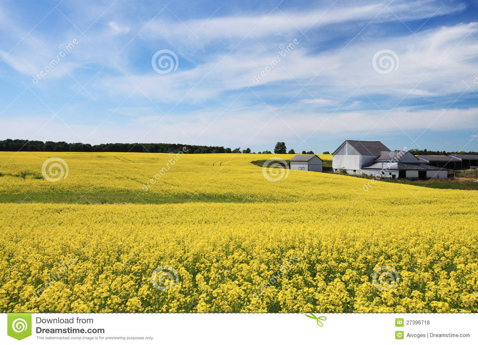 Canola kwitnący pole