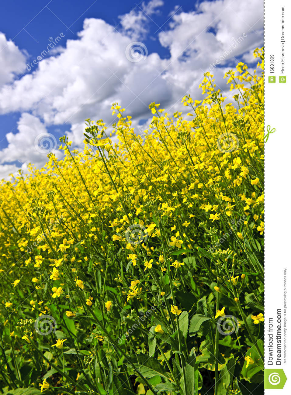 Canola Plants In Field Stock Image. Image Of Agricultural