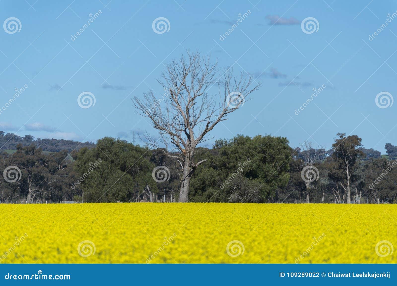 Canolafält i Australien