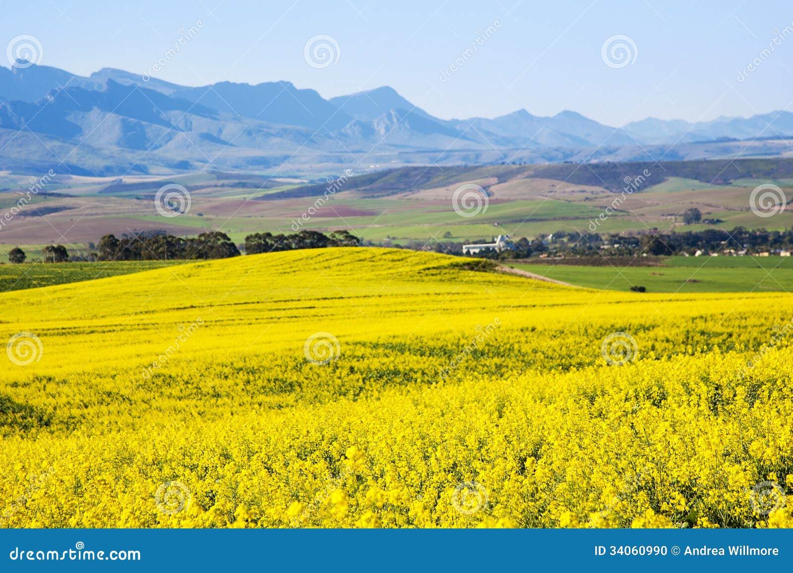 Canolafält, trädgårds- rutt, Sydafrika