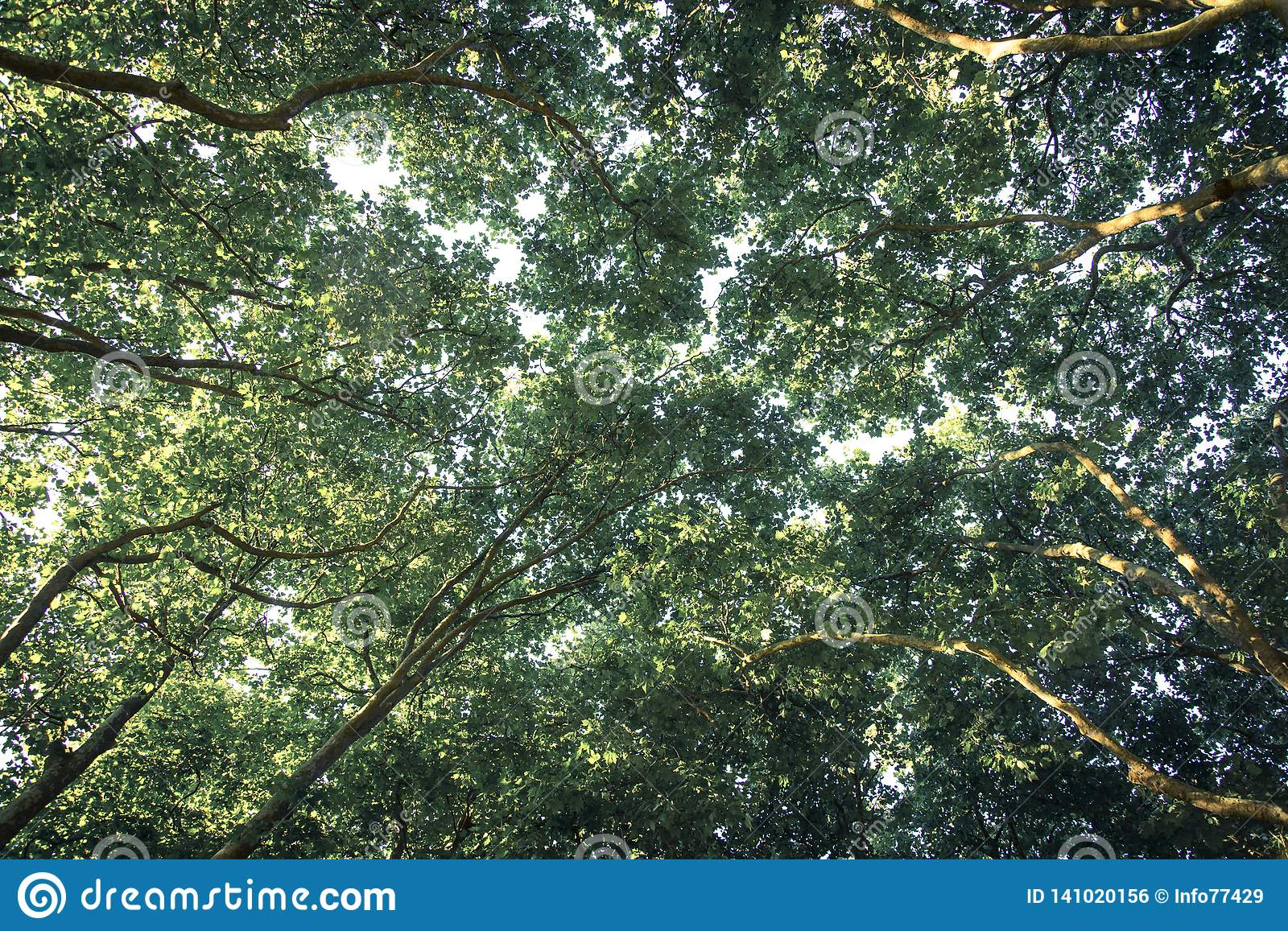 Canopy of Plane trees branches in the summer
