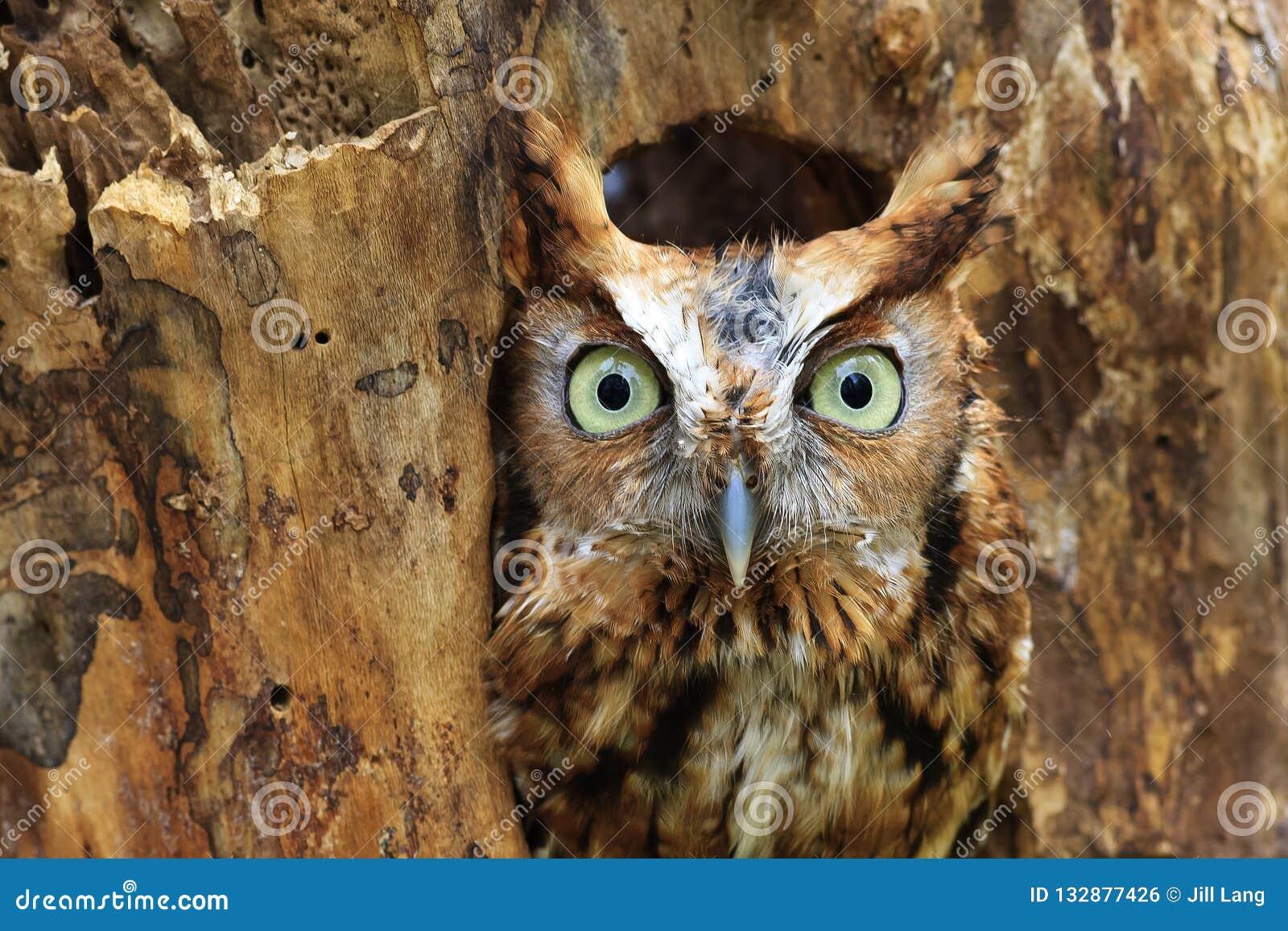 Cantada oriental Owl Perched em um furo em uma árvore