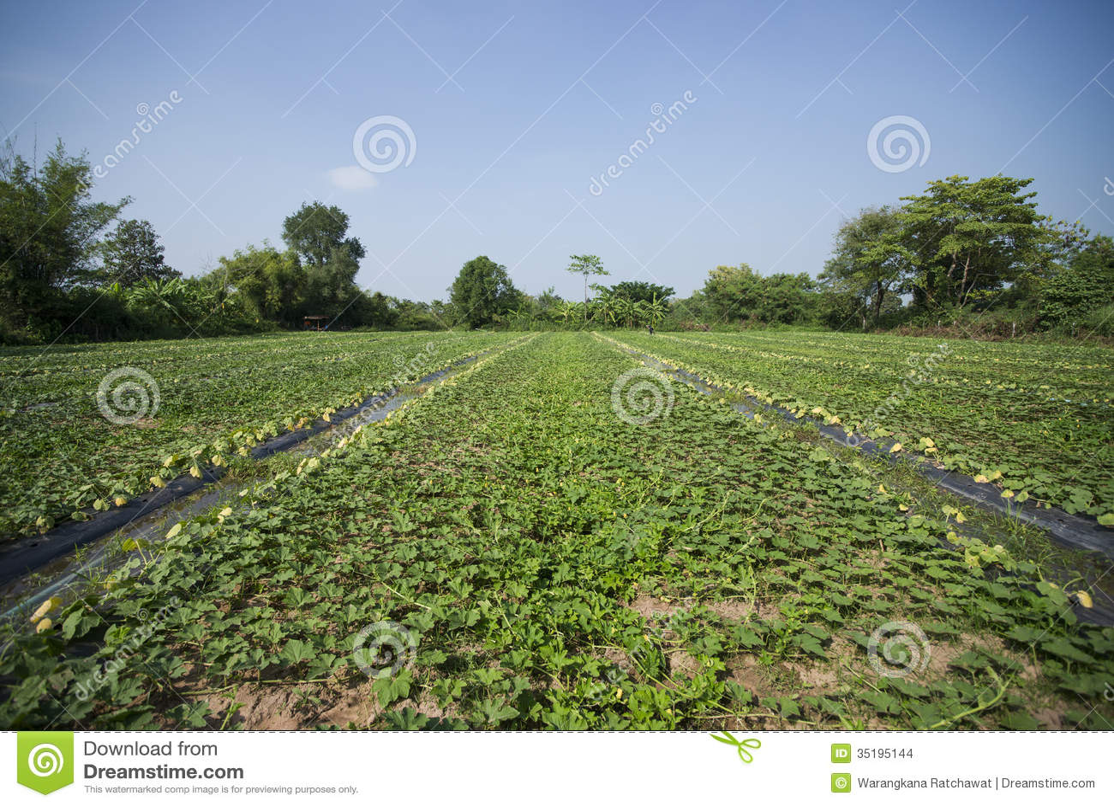 Watermelon Plant Farming | Cultivation | Seeds Information | Profit