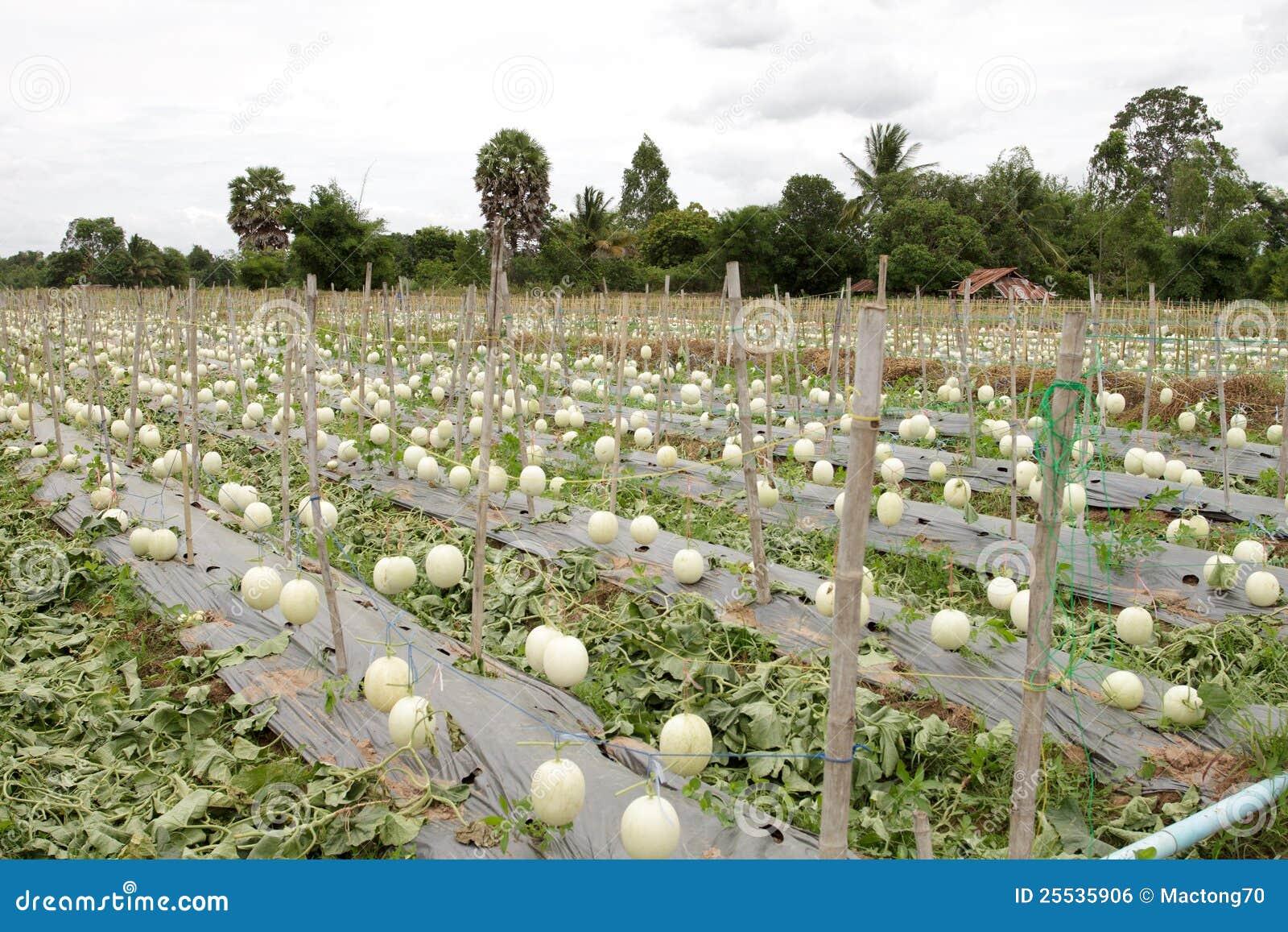 Cantalupo en Tailandia