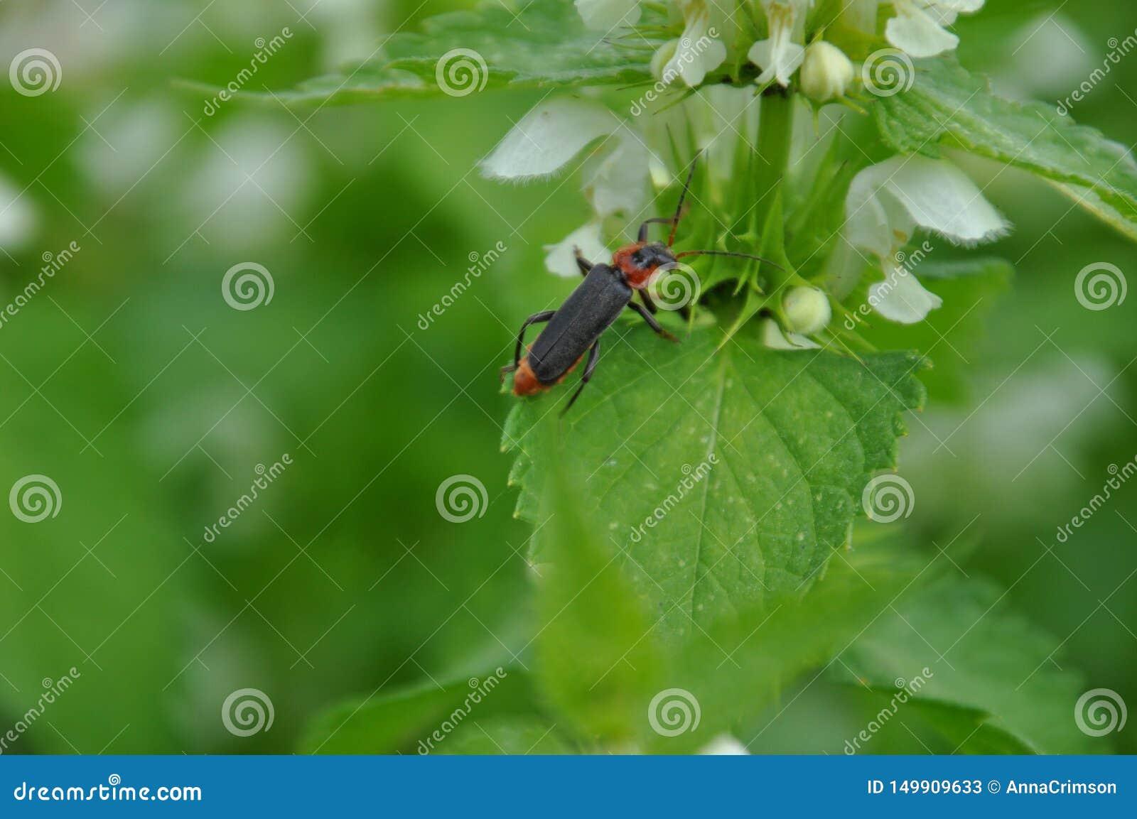 Cantharis在叶子的fusca甲虫
