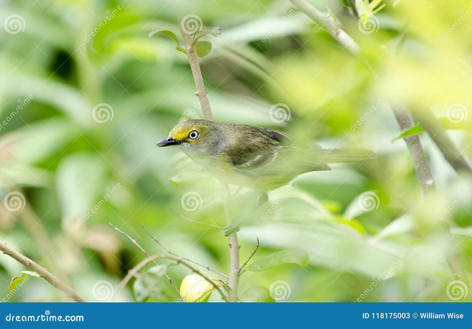 Canto dagli occhi bianchi dell uccello canoro del Vireo in Bradford Pear Tree, Georgia U.S.A.
