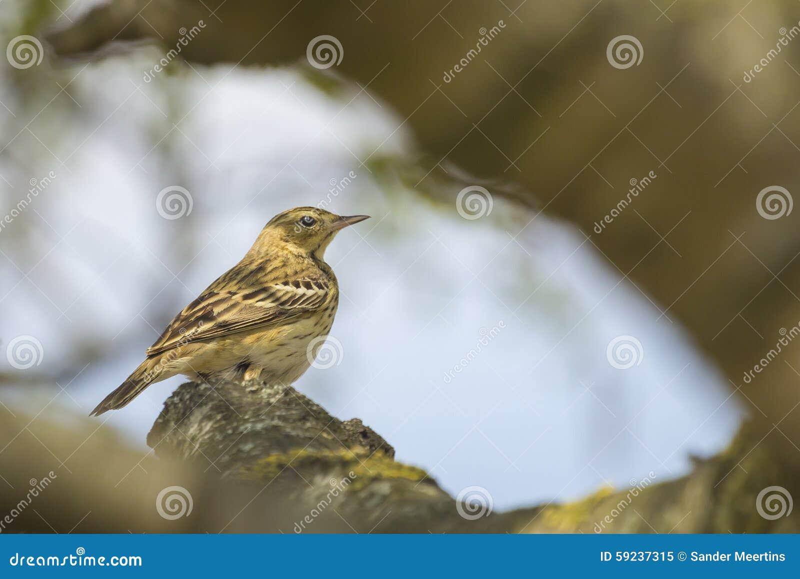 Download Canto del Pipit del árbol imagen de archivo. Imagen de salvaje - 59237315