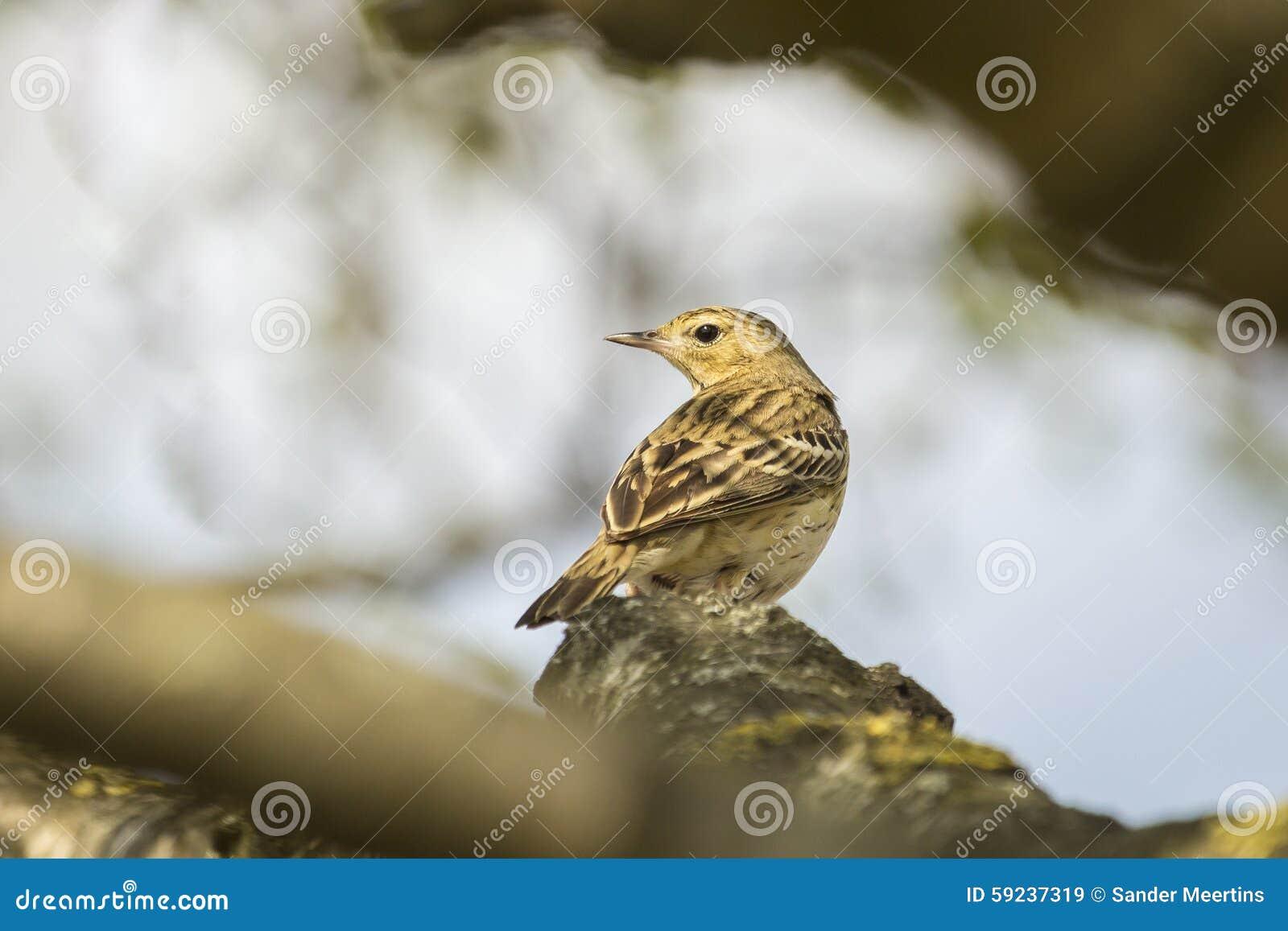 Download Canto del Pipit del árbol imagen de archivo. Imagen de pájaro - 59237319