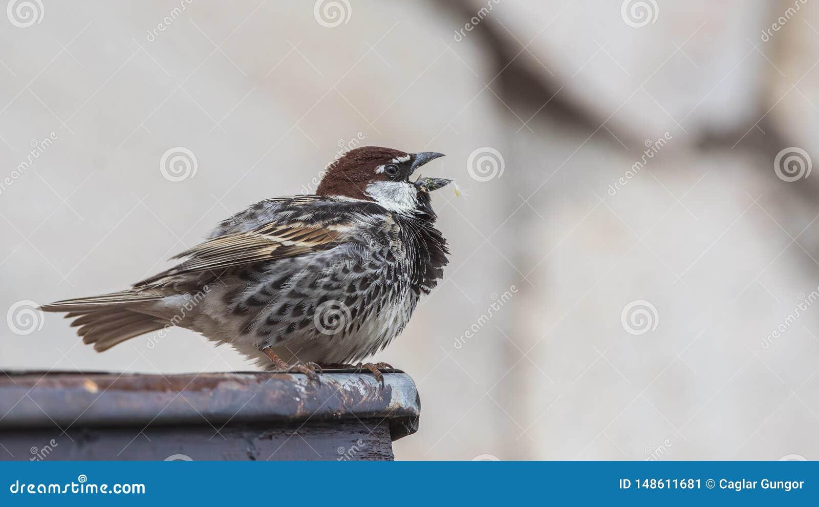 Canto spagnolo del passero