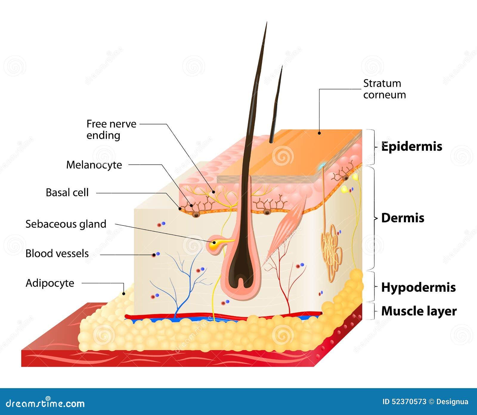 Capas de la piel ilustración del vector. Ilustración de dermis ...