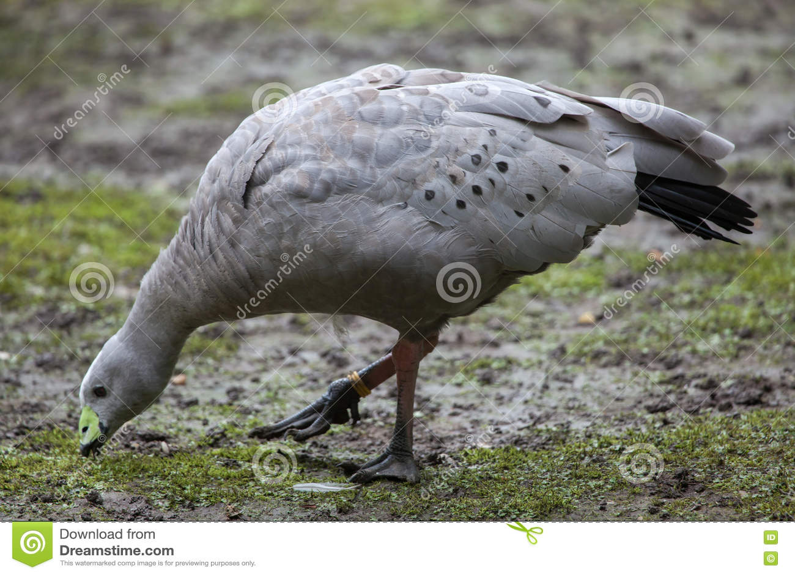 Cape barren goose (Cereopsis novaehollandiae).
