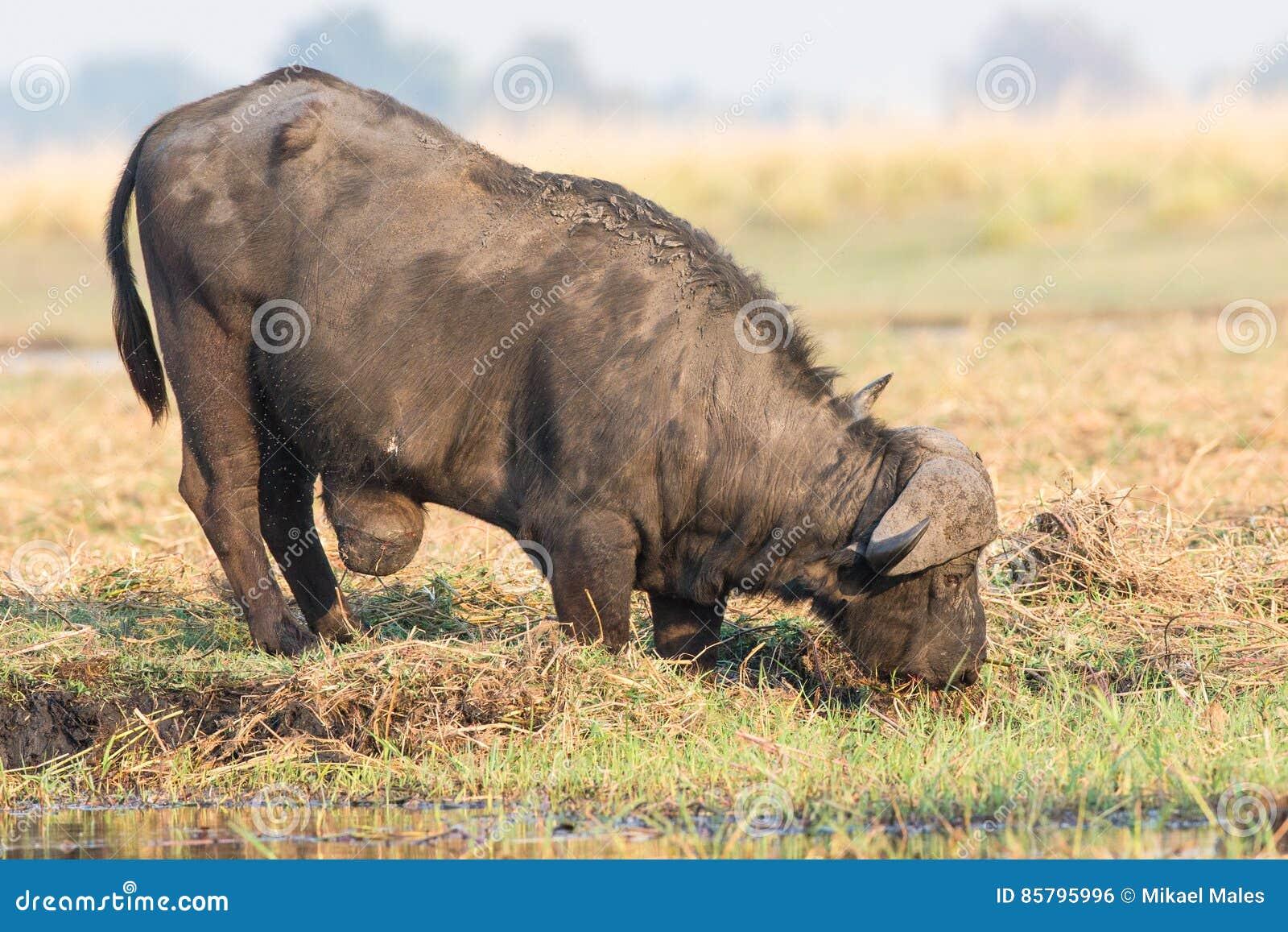 Cape Buffalo以巨型的肿瘤