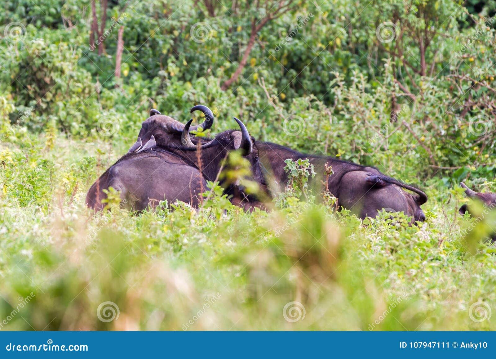 Cape buffalo in Ngorongoro Conservation Area