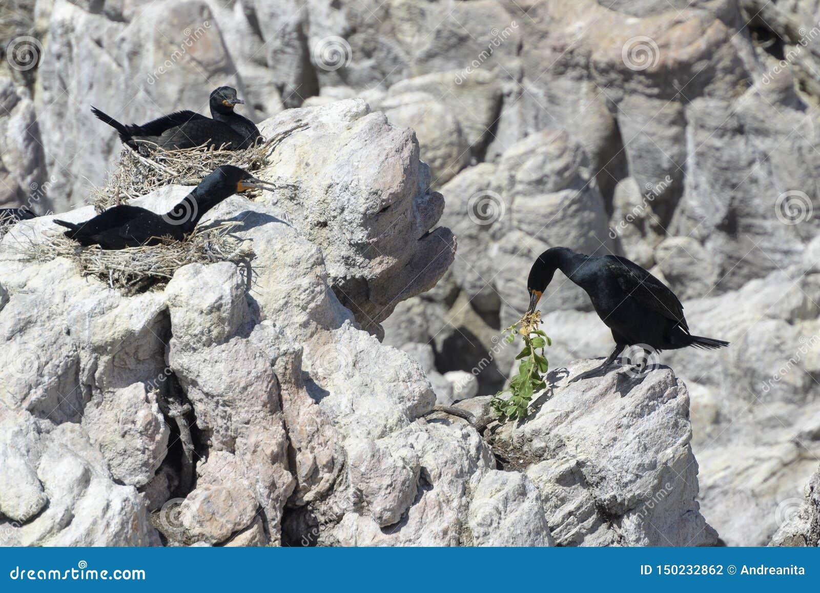 Cape Cormorants nesting on cliff