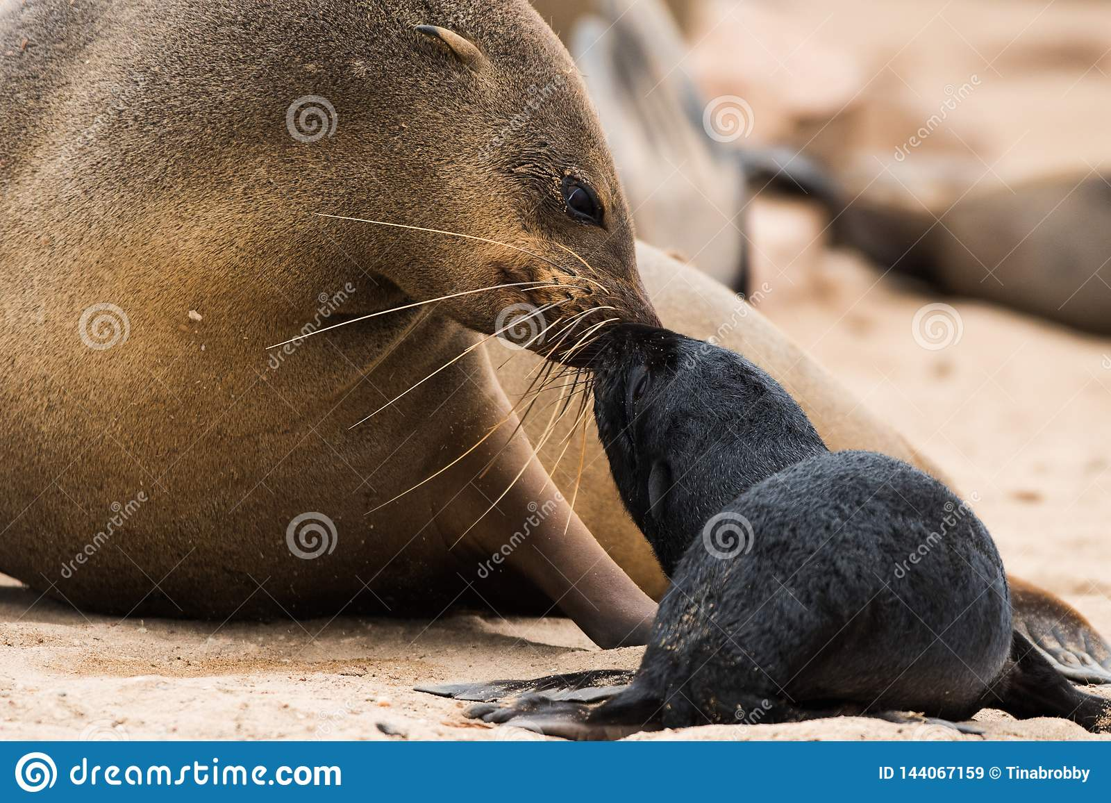 Cape fur seal and pup, Namibia