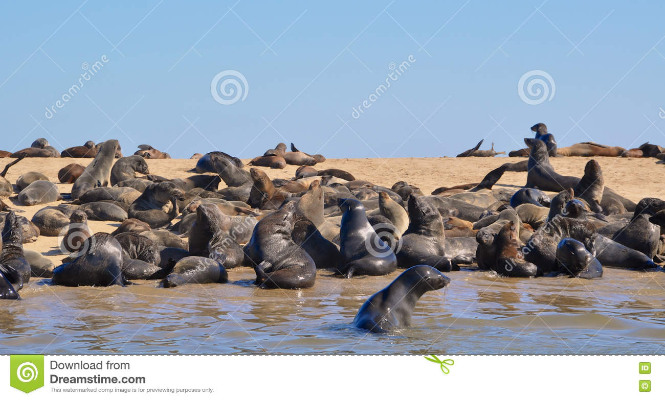 cape fur seals at cape cross seal reserve in namibia stock photo image 75162019. Black Bedroom Furniture Sets. Home Design Ideas