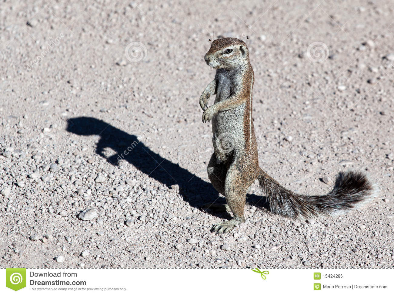 Cape Ground Squirrels Xerus Royalty Free Stock Image ...