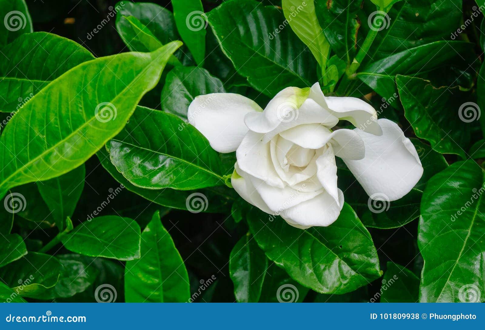 Cape jasmine flower at garden stock photo image of background download cape jasmine flower at garden stock photo image of background pattern 101809938 izmirmasajfo