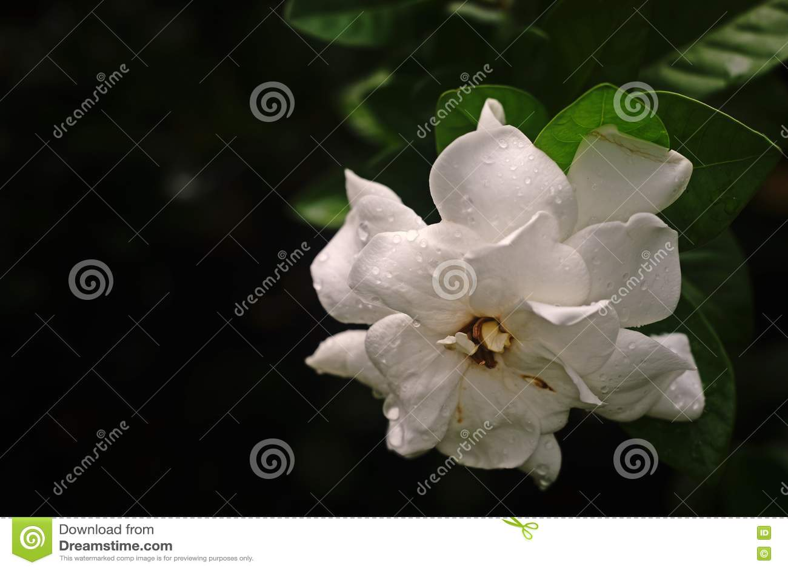 Cape jasminefragrant flower stock image image of white beauty download cape jasminefragrant flower stock image image of white beauty 79962553 izmirmasajfo