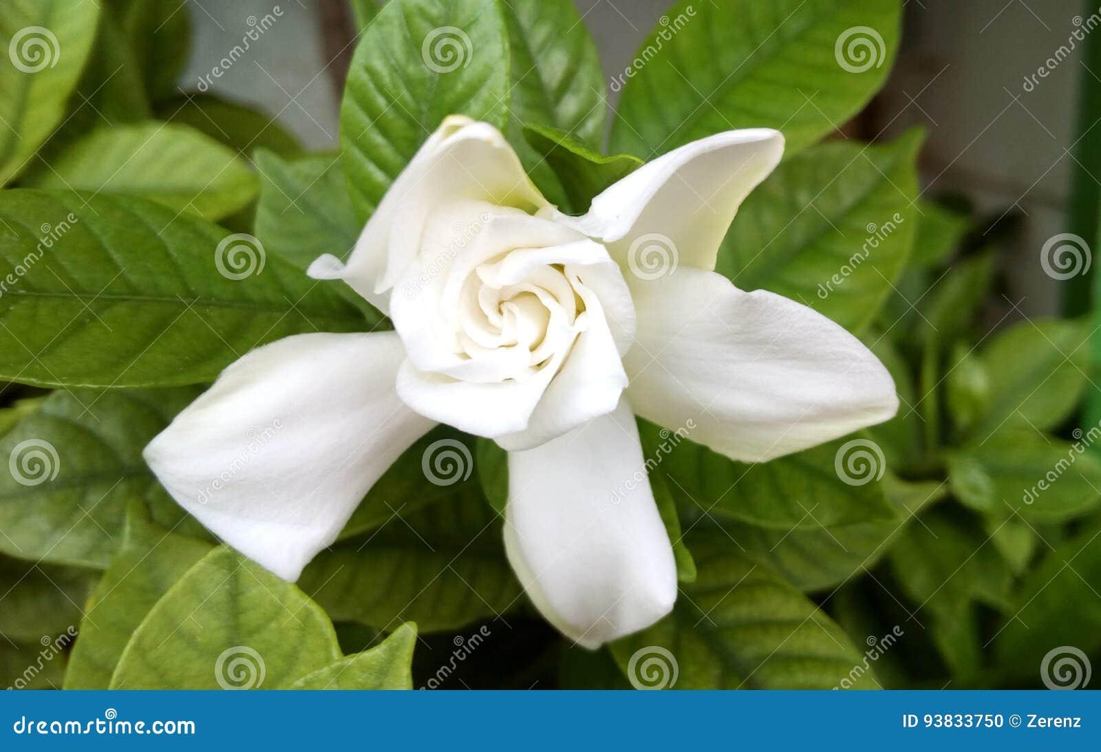 Cape jasmine or gardenia jasmine flower stock photo image of download cape jasmine or gardenia jasmine flower stock photo image of foliage leaf izmirmasajfo
