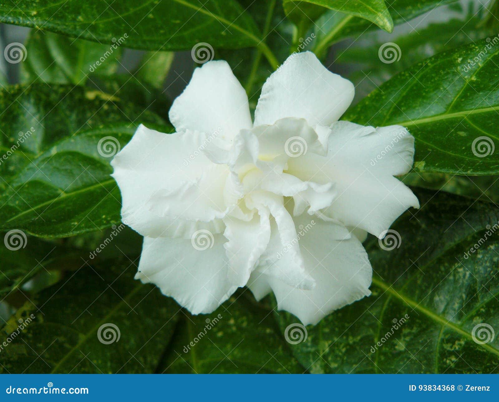 Cape jasmine or gardenia jasmine flower stock photo image of download cape jasmine or gardenia jasmine flower stock photo image of common delicate izmirmasajfo
