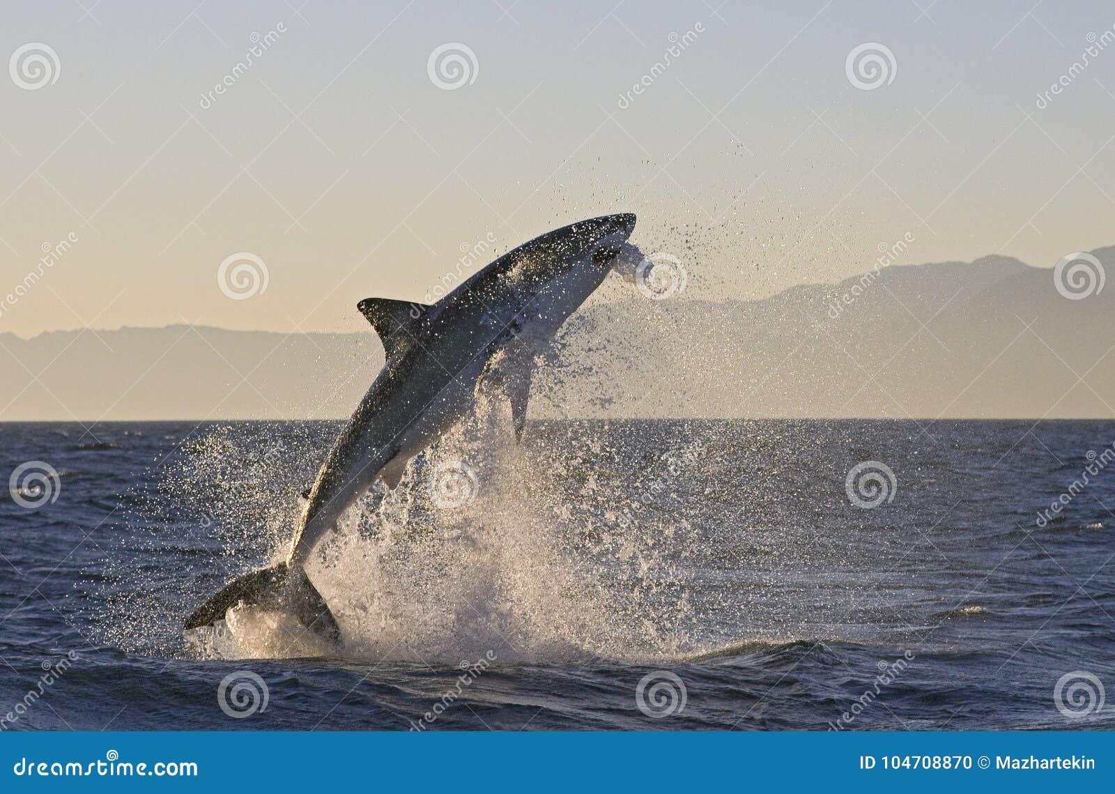 Cape Town, les requins, sauter vivifiant de l eau, semble grand, chacun doit voir cette scène une fois dans votre vie