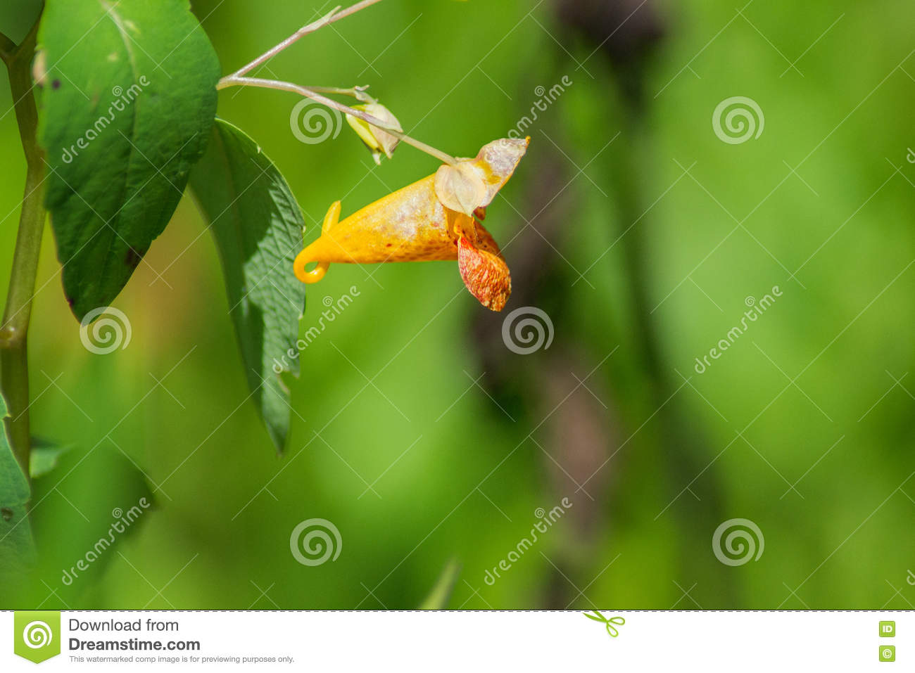 Capensis d Impatiens d †commun de Jewelweed «