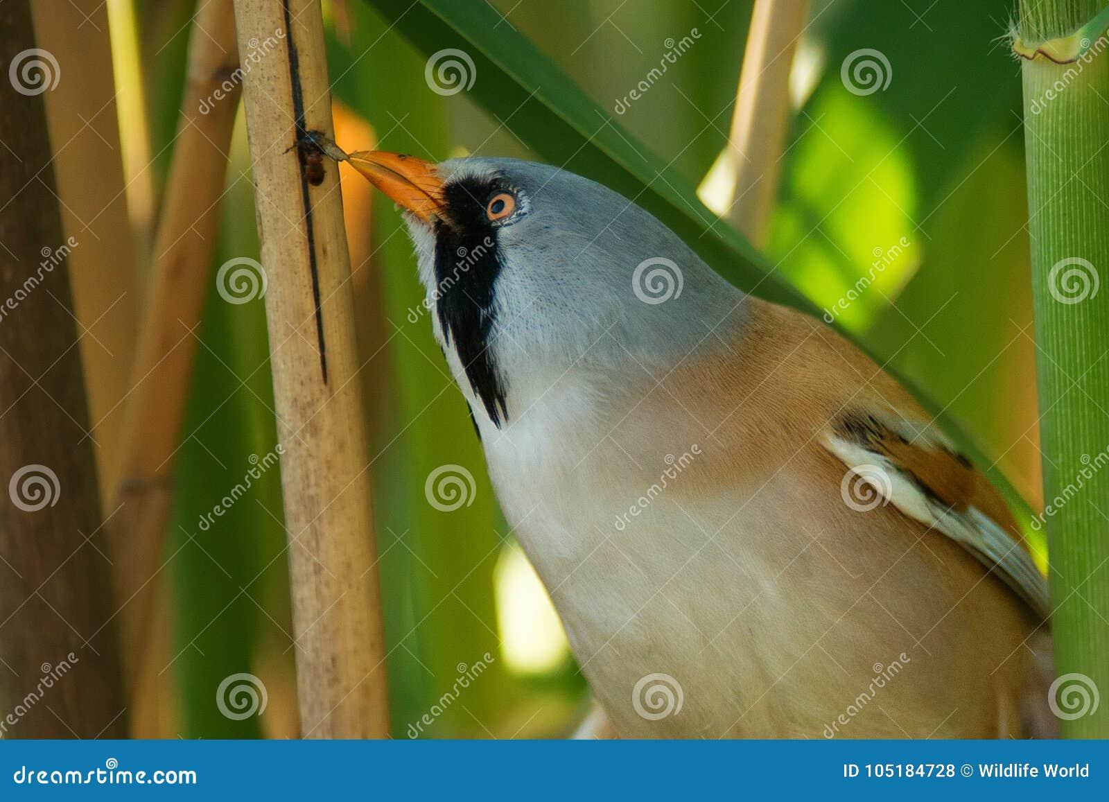 Capezzolo di Beraded, maschio - il biarmicus reedling di panurus ottiene l alimento dalla canna Fine in su