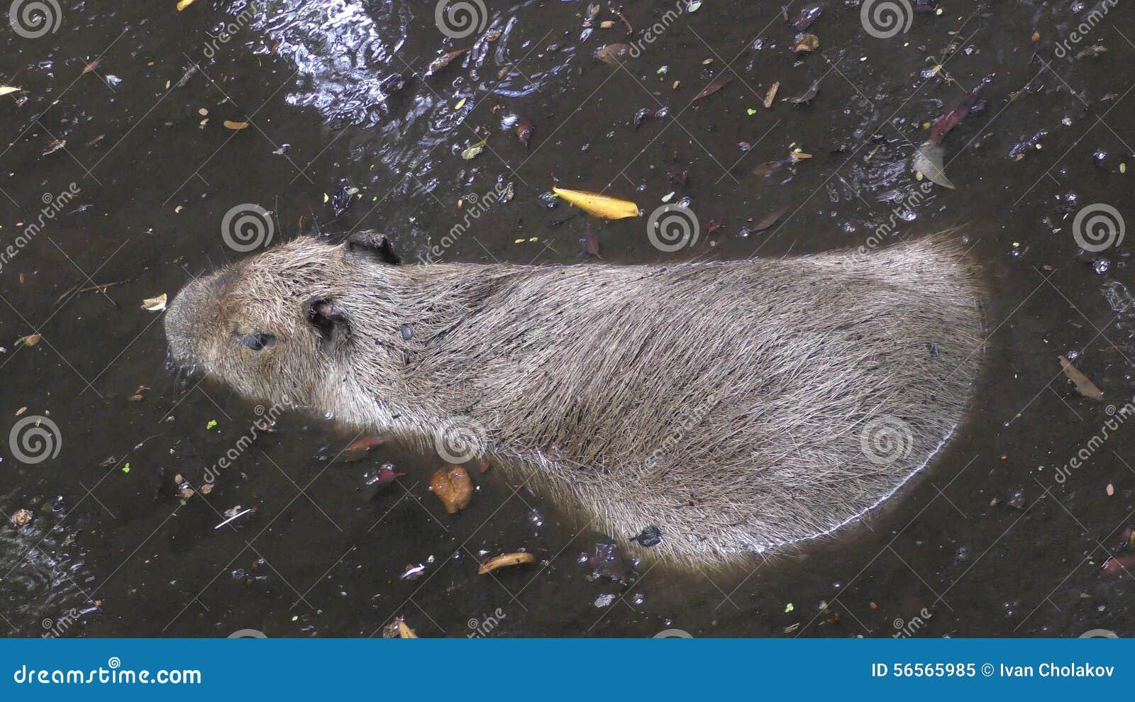 Download Capibara στο φυσικό περιβάλλον Στοκ Εικόνα - εικόνα από βιότοπος, κολύμβηση: 56565985