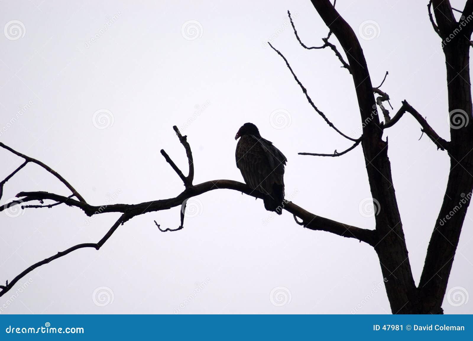 Capoeira do abutre