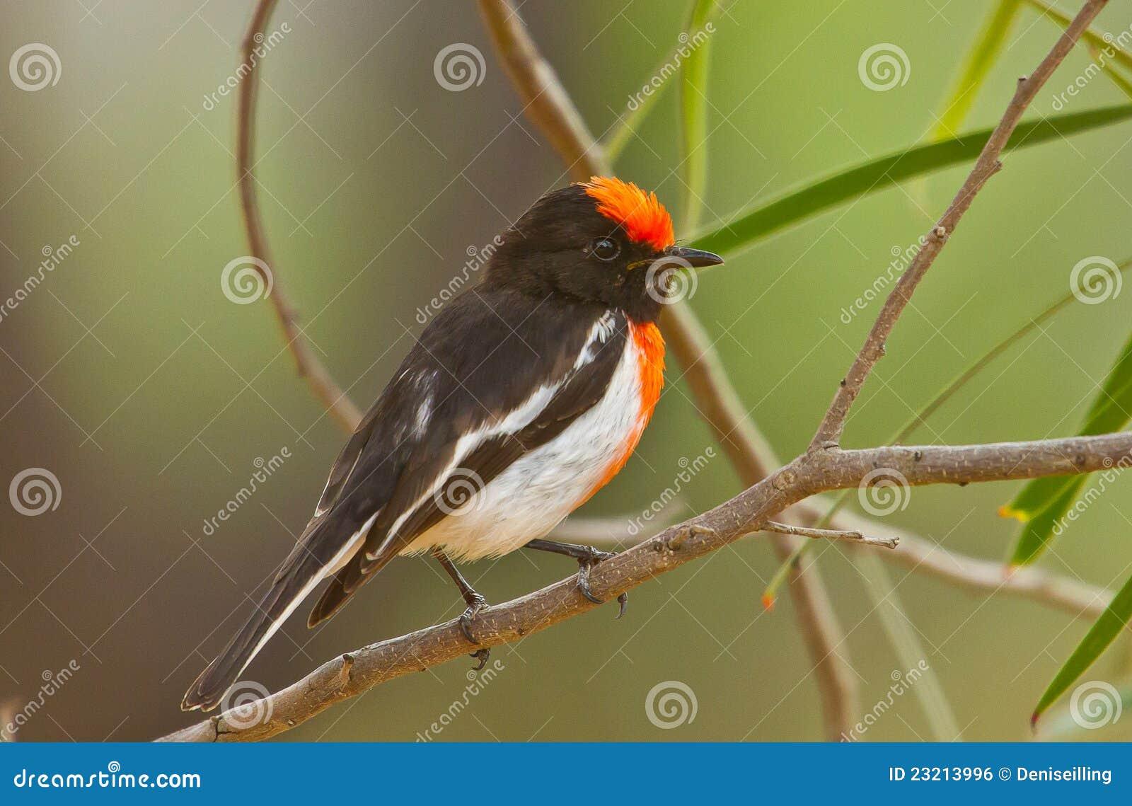 Capped male röd robin