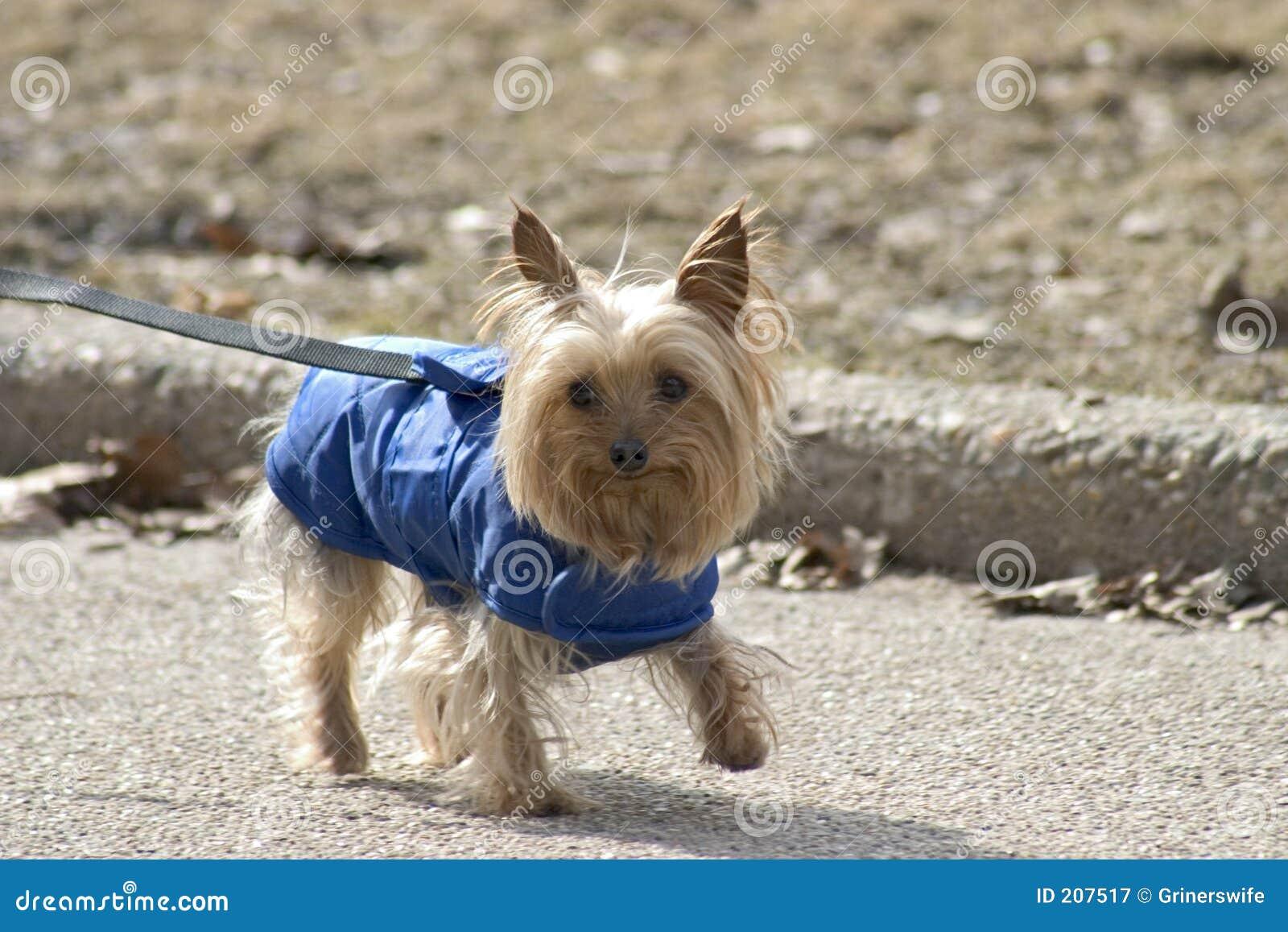 Cappotto dell azzurro del piccolo cane