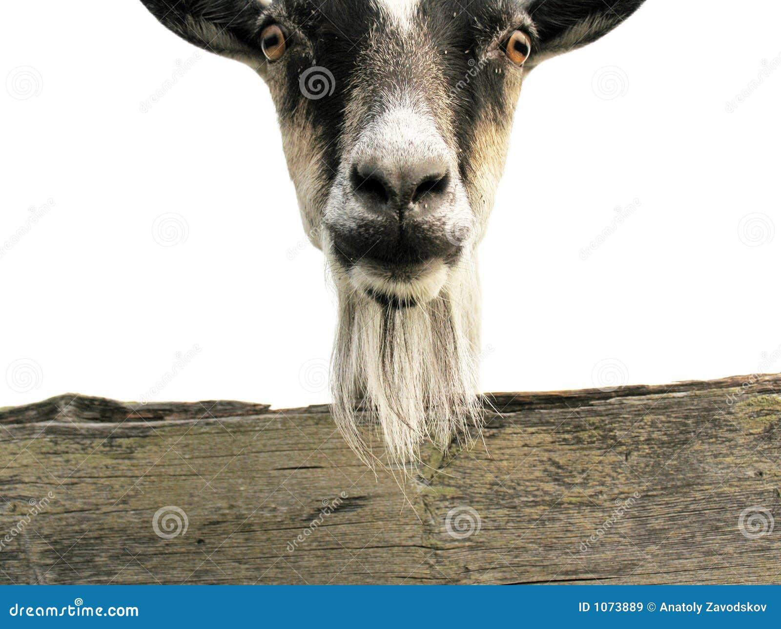 Capra immagine stock immagine di peloso osso nave - Immagini da colorare capra ...