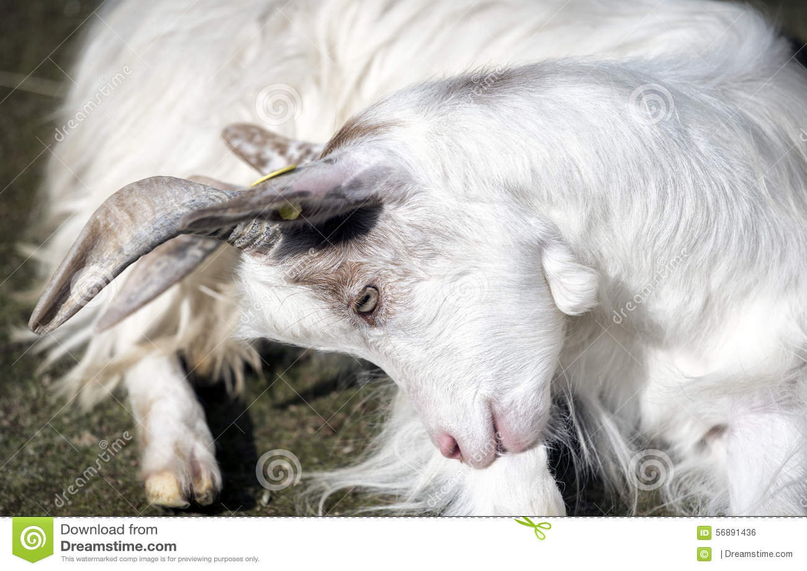 Capra bianca messa
