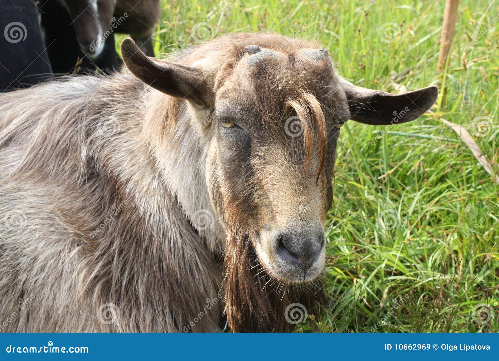 Capra marrone senza corna immagini stock libere da diritti - Immagini da colorare capra ...