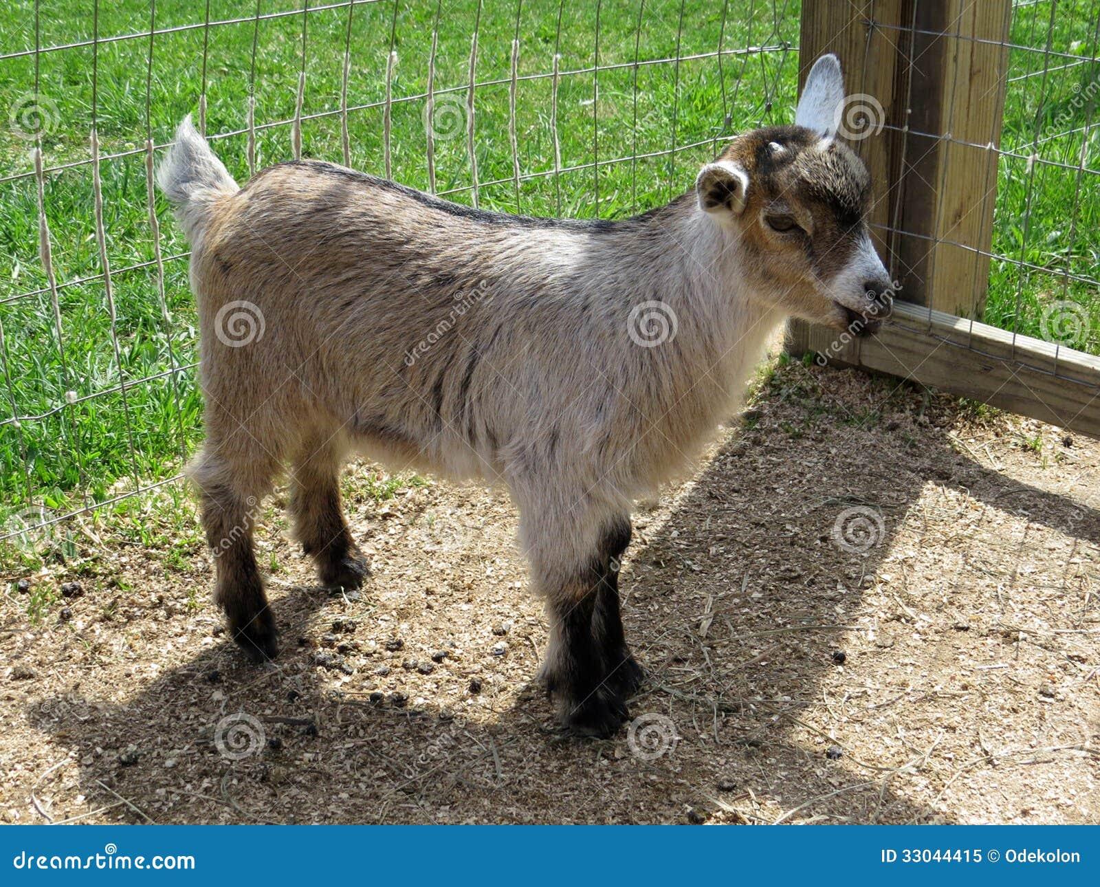 Capra nana nigeriana che doeling immagine stock immagine - Immagini da colorare capra ...