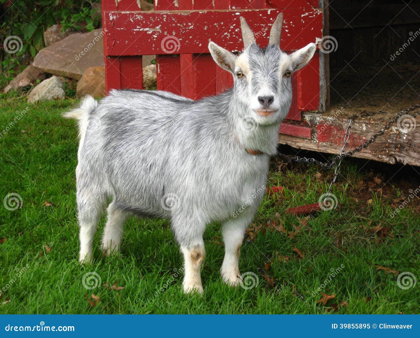 Capra pigmea immagine stock immagine di capra nazionale - Immagini da colorare capra ...