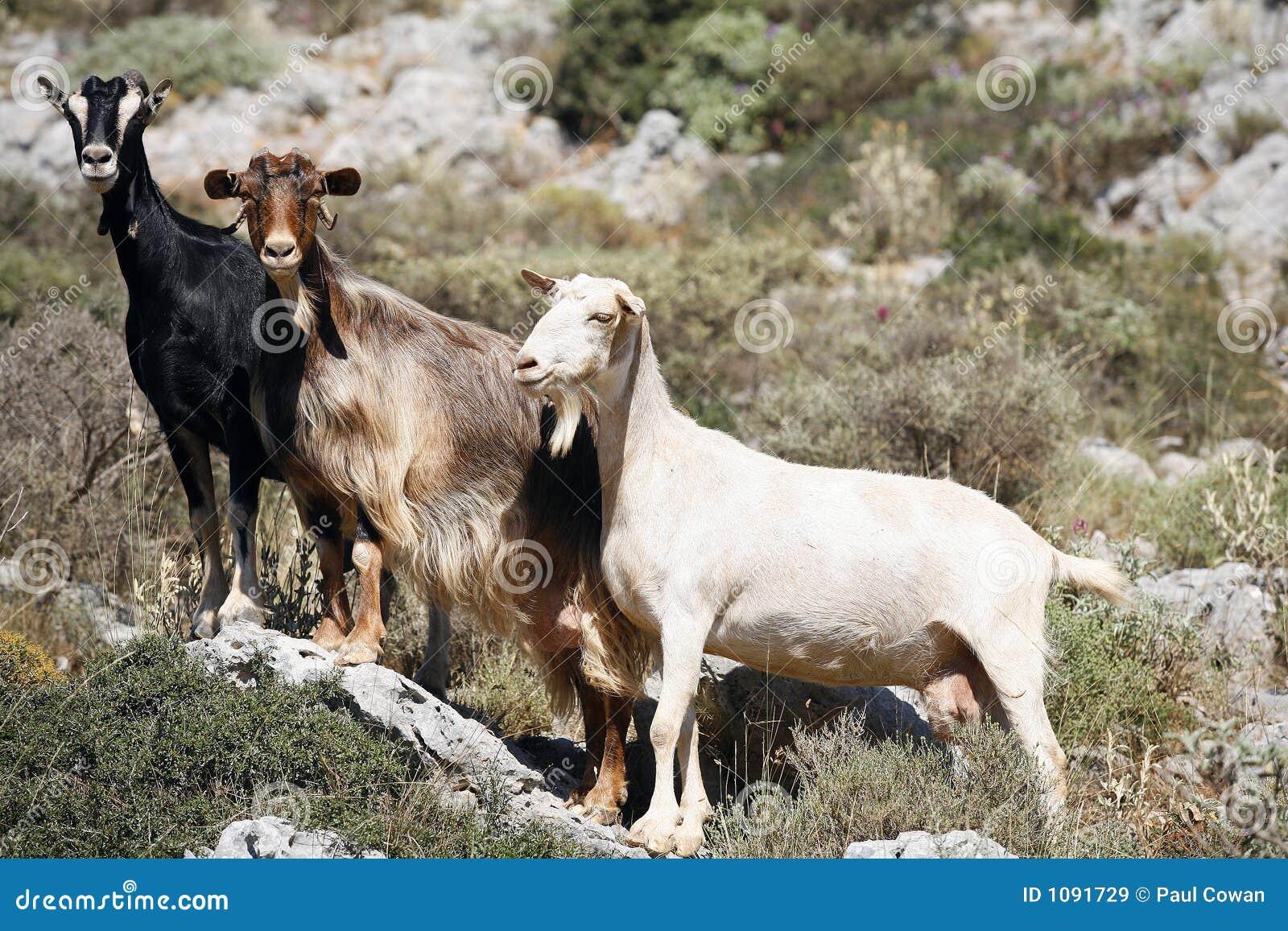 Capre di montagna immagine stock immagine di capra - Immagini da colorare capra ...