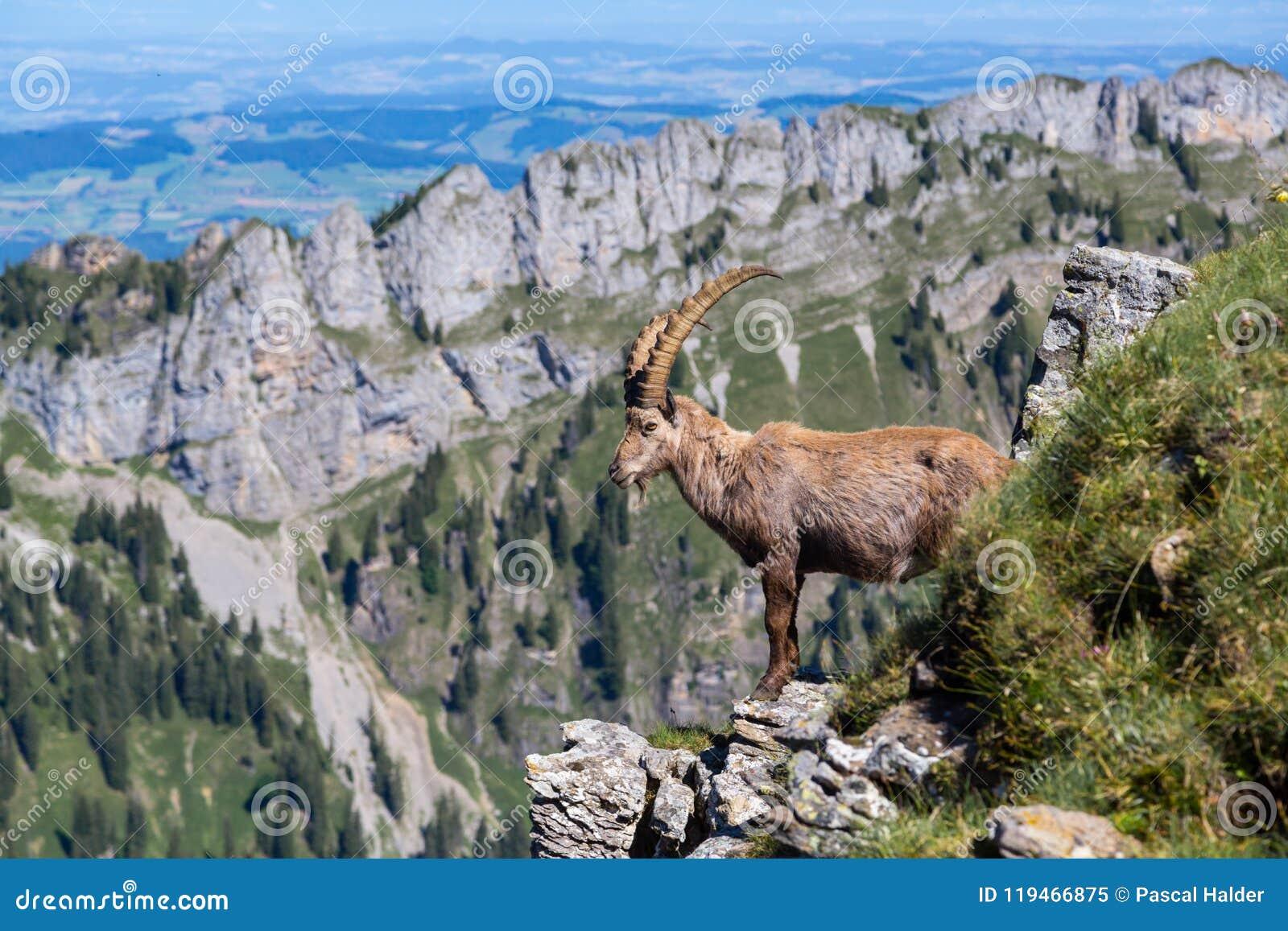 Capricorne alpin à cornes masculin de bouquetin se tenant sur la roche
