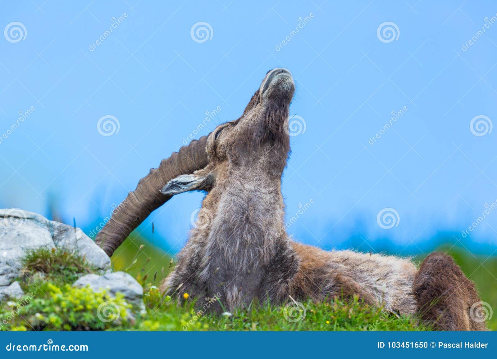 Capricorne alpin masculin naturel de bouquetin dans le pré se rayant