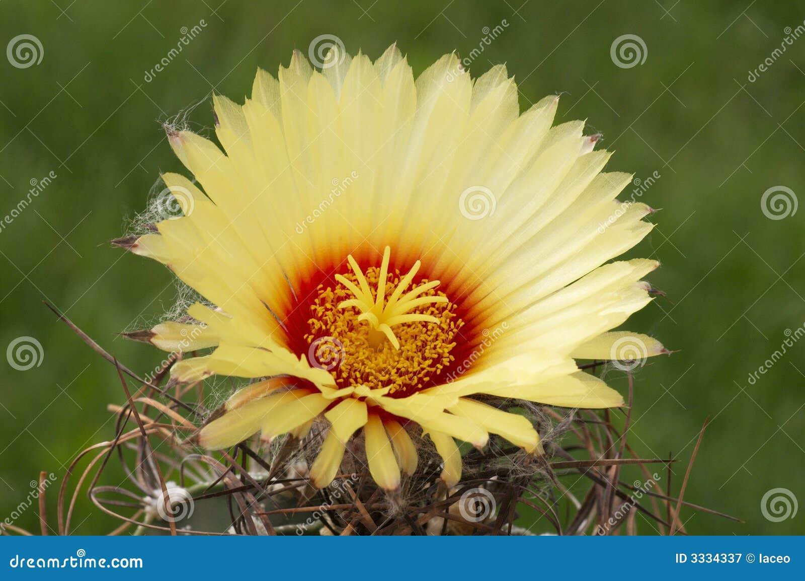 Capricorne d Astrophytum.