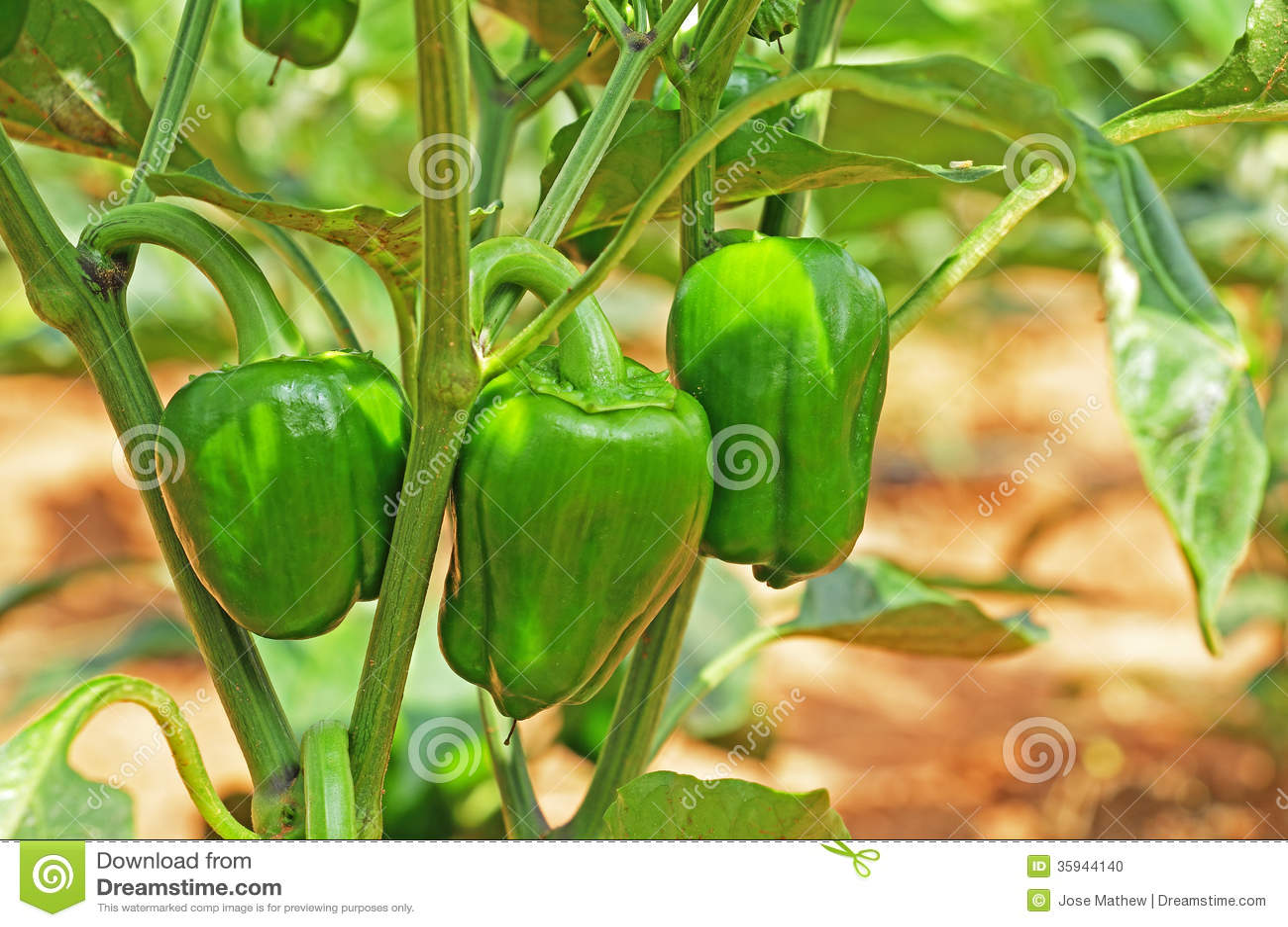 Capsicum Fruits In Plant Stock Photo - Image: 35944140