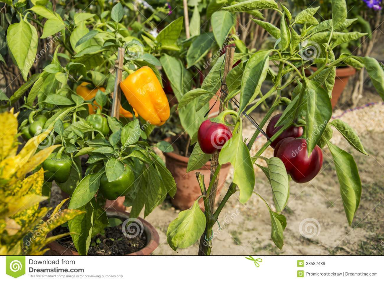 Capsicum plant royalty free stock images image 38582489 for Different garden plants