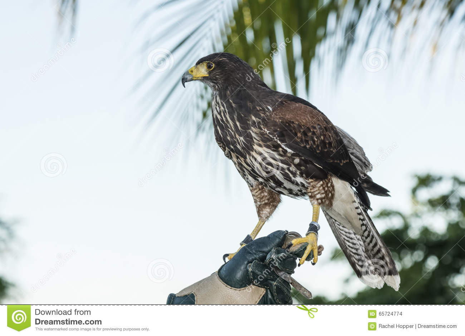 captive harris u0027s hawk parabuteo unicinctus used for falconry on