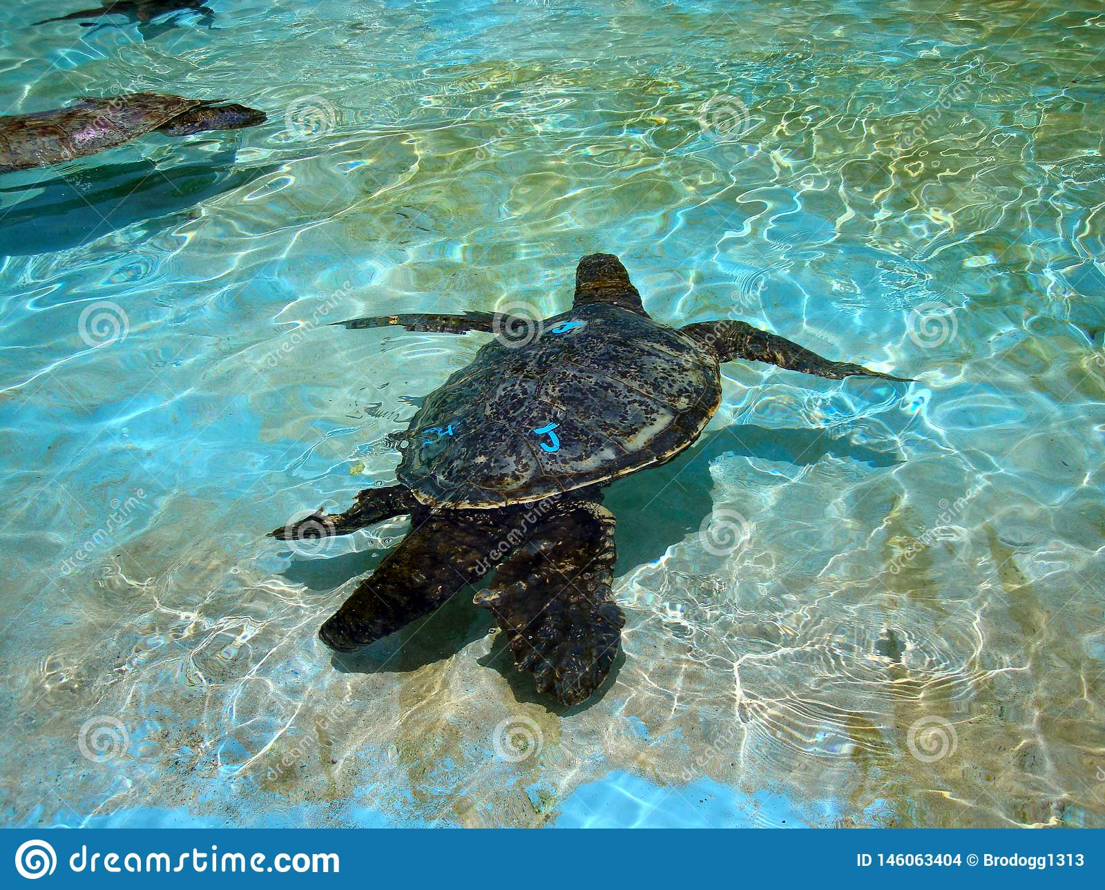 Captive Hawaiian Sea Turtles Swim Under The Shallow Water