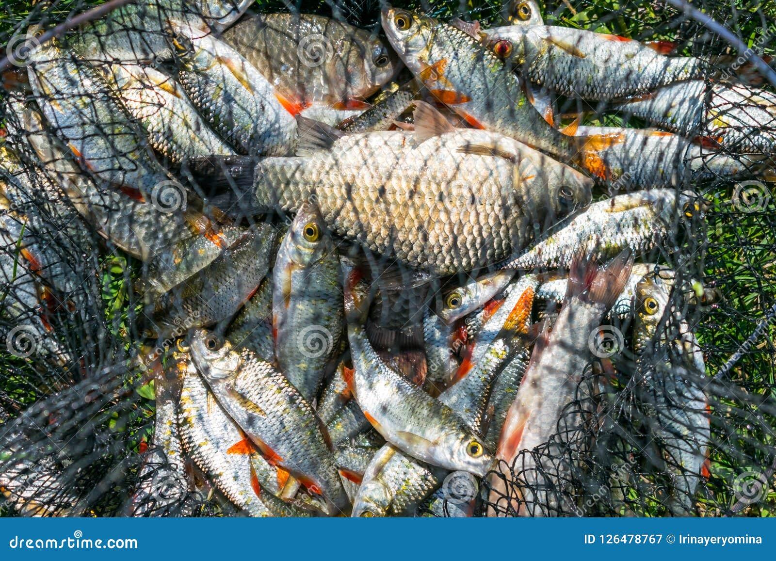 Capture de poissons dans le panier net sur l herbe verte par la rivière Beaucoup RO