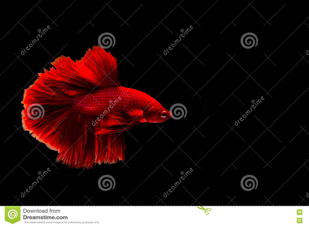 Capture The Moving Moment Of Siamese Fighting Fish And Red Betta ...