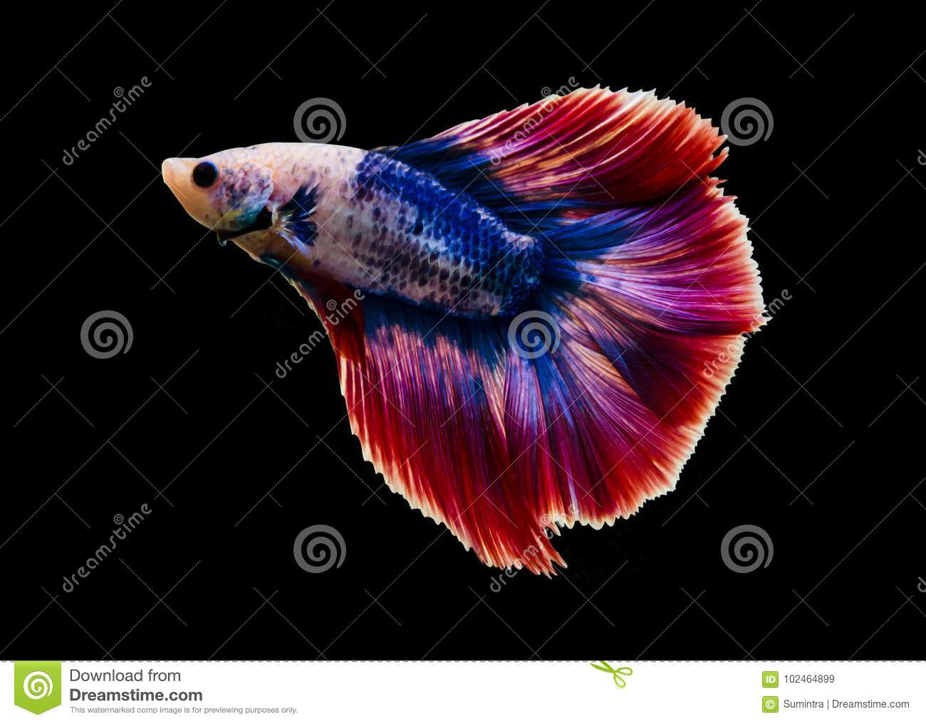 Capture The Moving Moment Of White Siamese Fighting Fish Isolated On ...